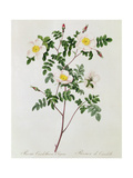 Rosa Candolleana Elegans Giclee Print by Pierre-Joseph Redouté