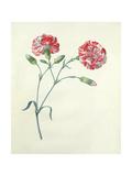 Carnation Giclee Print by Georg Dionysius Ehret