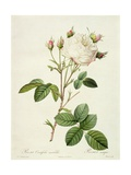 Rosa Centifolia Mutabilis, Engraved by Bessin, Published by Remond Giclee Print by Pierre Joseph Redoute