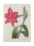 Amaryllis Bresiliensis (Brazilian Amaryllis), Engraved by Victor, from 'Choix Des Plus Belles… Giclee Print by Pierre-Joseph Redouté