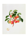 The Tartarian Crab Apple, 1819 Giclee Print by William Hooker