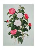 "Camellia Japonica, from ""A Monograph on the Genus of the Camellia"", 1819 Giclee Print by William Curtis"
