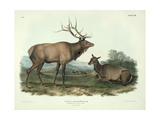 Cervus Canadensis (American Elk, Wapiti Deer), Plate 62 from 'Quadrupeds of North America',… Giclee Print by John James Audubon