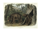 Ursus Americanus, Var. Cinnamonum (Cinnamon Bear), Plate 127 from 'Quadrupeds of North America',… Giclee Print by John Woodhouse Audubon