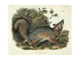 Canis (Vulpes) Virginianus (Grey Fox), Plate 21 from 'Quadrupeds of North America', Engraved by… Giclee Print by John James Audubon