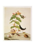 No.1146C Hypericum Baxiforum with Snails and a Beetle, 1695 Giclee Print by Maria Sibylla Graff Merian