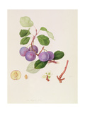 La Royale Plum, 1815 Giclee Print by William Hooker