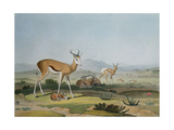 The Spring-Bok or Leaping Antelope, Plate 18 from 'African Scenery and Animals', Engraved by the… Giclee Print by Samuel Daniell