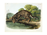Felis Pardalis (Ocelot or Leopard-Cat), Plate 86 from 'Quadrupeds of North America', Engraved by… Giclee Print by John Woodhouse Audubon