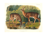 Cervus Virginianus (Common or Virginian Deer), Plate 136 from 'Quadrupeds of North America',… Giclee Print by John Woodhouse Audubon