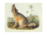 Vulpes Velox (Swift Fox), Plate 52 from 'Quadrupeds of North America', Engraved by John T. Bowen… Giclee Print by John James Audubon