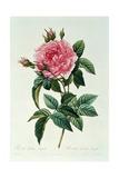 Rosa Gallica Regalis Giclee Print by Pierre-Joseph Redouté