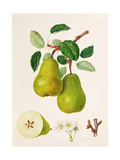 The D'Auch Pear, 1817 Giclee Print by William Hooker