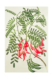 Clianthus Puniceus, Plate 432 from 'Banks' Florilegium', Gathered from North Island, New Zealand,… Giclee Print by Sydney Parkinson