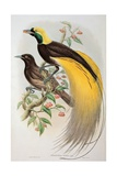 Bird of Paradise: Greater, Paradisaea Apoda Giclee Print by  William Hart and John Gould