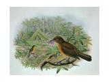 Amblyornis Inornatus, Vogelkop Gardener Bowerbird Giclee Print by  William Hart and John Gould