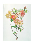 Rosa Chinensis Giclee Print by Alfred Parsons