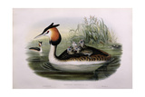 Great Crested Grebe (Podiceps Cristatus) Giclee Print by  John Gould and H.C. Richter