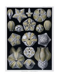 Blastoidea, Plate from Artforms of Nature, C.1899-1904 Giclee Print by Ernst Haeckel