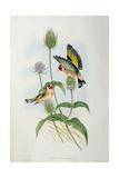 Goldfinch (Carduelis Elegans) Impression giclée par  John Gould and H.C. Richter