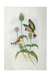 Goldfinch (Carduelis Elegans) Giclee Print by  John Gould and H.C. Richter
