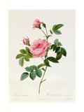 Rosa Inermis Giclee Print by Pierre-Joseph Redouté