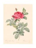 Rosa Gallica Pontiana Giclee Print by Pierre-Joseph Redouté