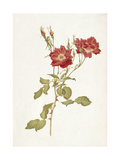 Rose: Bourbon Giclee Print by Alfred Parsons