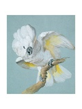 A Great White Crested Cockatoo Giclee Print by Aert Schouman