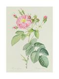 Rosa Gallica Rosea Flore Simplici Giclee Print by Pierre-Joseph Redouté