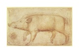 A Wild Boar Giclee Print by Antonio Pisanello
