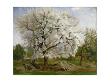 Apple Tree in Blossom Giclee Print by Carl Fredrik Hill