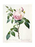 Rosa Indica Fragrans, Engraved by Langlois, Published by Remond Giclee Print by Pierre-Joseph Redouté