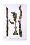 Cereus Scandens Minor, Cereus Scandens Medeus and Triangularis Peruvianus, from 'Phytanthoza… Giclee Print by Georg Dionysius Ehret