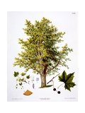 London Plane, Engraved by Bannwarth Giclee Print by Johann Kautsky