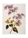 Scotch Lilac, Published 1793 Giclee Print by John Edwards