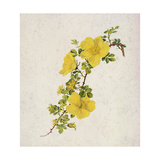 Rosa Foetida Giclee Print by Alfred Parsons