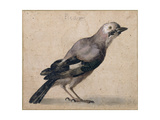 A Jay Giclee Print by Benedetto Luti