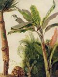 Banana Tree, C.1865 Reproduction procédé giclée par Frederic Edwin Church