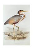 Purple Heron Giclée-Druck von Edward Lear