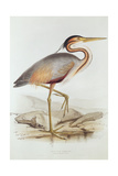 Purple Heron Giclee Print by Edward Lear