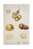 Potato Tubers, Plate from 'Herbarium Blackwellianum' Published in Nuremberg 1757 Giclee Print by Elizabeth Blackwell