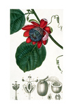 A Passion Flower from Lecons De Flore Giclee Print by Pierre Jean Francois Turpin