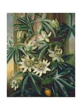 Blue Passion Flower for the 'temple of Flora' by Robert Thornton, 1800 Giclee Print by Philip Reinagle