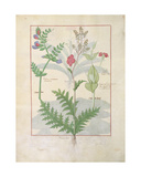 Ms Fr. Fv VI 1 Fol.136V Illustration from 'The Book of Simple Medicines' by Mattheaus Platearius… Giclee Print by Robinet Testard