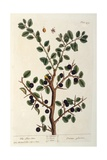 The Sloe Tree, Plate 494 from 'The Curious Herbal', Published 1782 Giclee Print by Elizabeth Blackwell