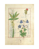 Ms Fr. Fv VI 1 Fol.135R Illustration from 'The Book of Simple Medicines' by Mattheaus Platearius… Giclee Print by Robinet Testard