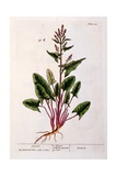 Sorrel, Plate 230 from 'A Curious Herbal', Published 1782 Giclee Print by Elizabeth Blackwell