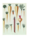 Turnips, Tab Xii from the 'Album Benary', Engraved by G. Severeyns, 1876 Giclee Print by Ernst Benary