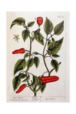 Guinea Pepper, Plate 129 from 'A Curious Herbal', Published 1782 Giclee Print by Elizabeth Blackwell